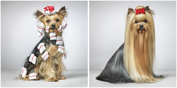 Yorkshire terrier hairstyles pictures